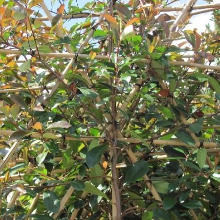 Photinia 'Red Robin' pot voorgeleid