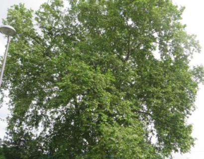 Platanus acerifolia - plataan