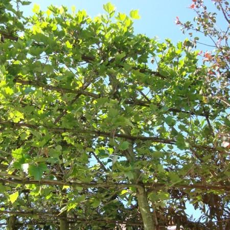 Platanus acerifolia voorgeleid - lei-plataan leivorm