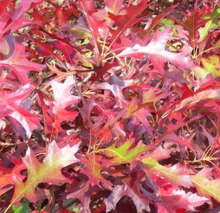 Quercus palustris voorgeleid - lei-moeraseik leivorm