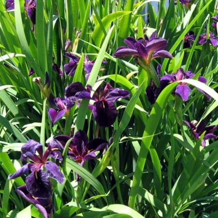 Iris black 'Gamecock' - zwarte lis