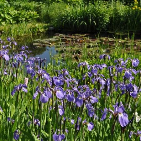 Iris setosa - paarse lis