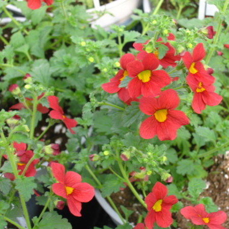 Mimulus Bonfire Red - rode maskerbloem