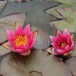 Wanneer en hoe plant ik waterplanten, moerasplanten en waterlelies?