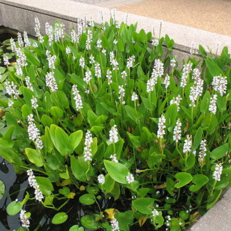 Pontederia cordata 'Alba' - wit snoekkruid