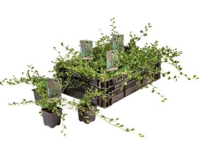 Cotoneaster dammeri 'Major' pot 9 cm