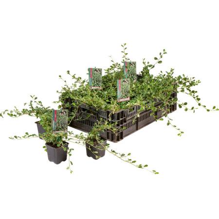 Cotoneaster dammeri 'Major' pot 9 cm - dwergmispel