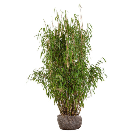 Fargesia murieliae 'Superjumbo' 125/150 cm - bamboe