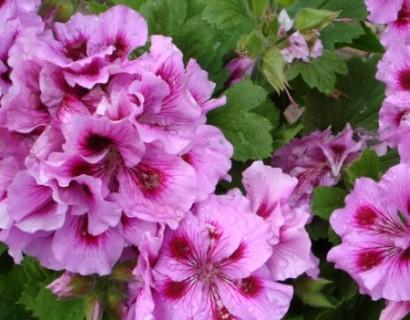 Franse geranium - Franse geranium
