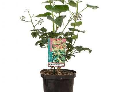 Hedera helix 'Arborescens' pot 2 liter - struikklimop