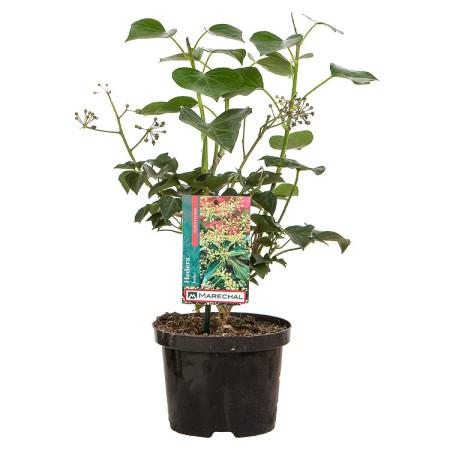 Hedera helix 'Arborescens' pot 2 liter