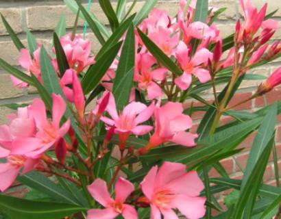 Oleander grote pot - oleander