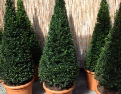 Taxus baccata pot kegel 140 cm - venijnboom