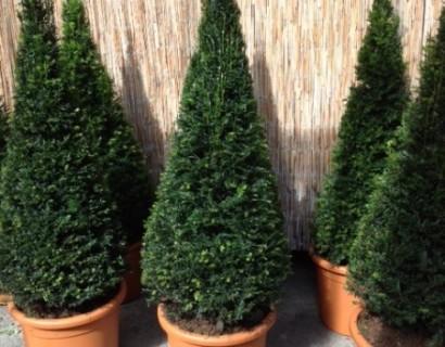 Taxus baccata pot kegel 100 cm - venijnboom