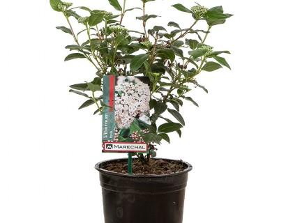 Viburnum tinus pot 2 liter