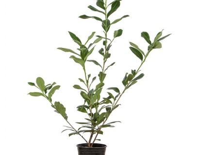 Prunus laurocerasus 'Caucasica' pot 3 liter 50/60 cm - donkere gewone laurier, paplaurier