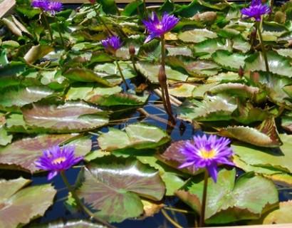 Nymphea tropical 'Blue Variegata' - waterlelie; geschikt voor kleine vijvers en terraskuipen