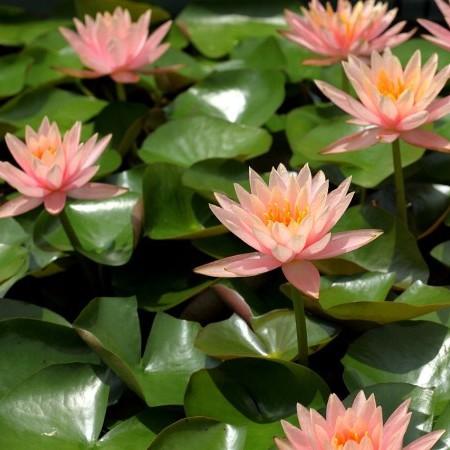 Nymphea 'Colorado' - waterlelie; geschikt voor kleine vijvers en terraskuipen