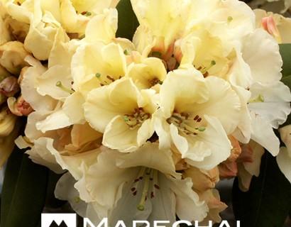Rhododendron 'Horizon Monarch' pot 4 liter