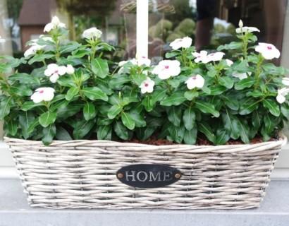 Vinca rosea pot - Staande knolbegonia