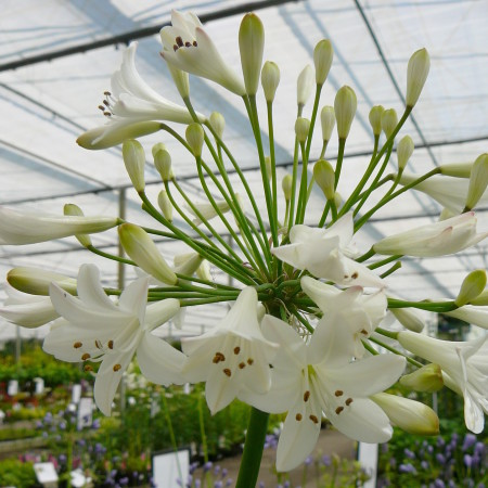 Agapanthus 'Leicester' (grote pot) - afrikaanse lelie, tuberoos