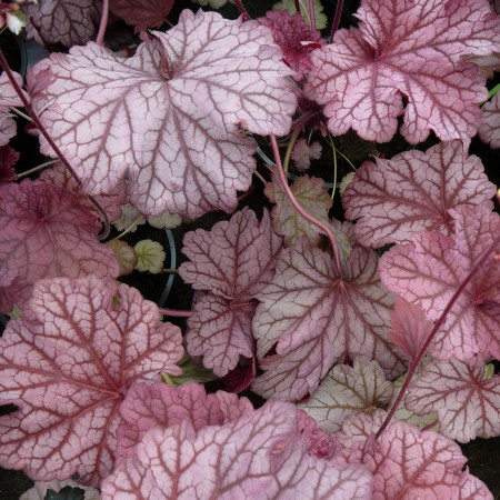 Heuchera 'Berry Smoothie' (grote pot) - puperklokje
