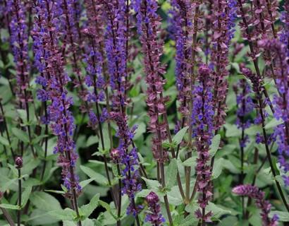 Salvia nemerosa 'Caradonna' pot 2 liter - salie