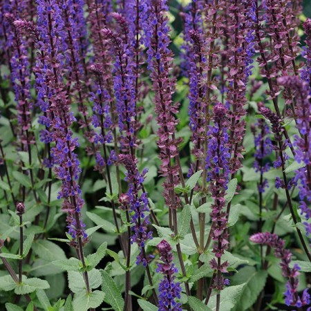 Salvia nemerosa 'Caradonna' pot 2 liter