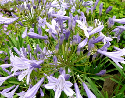 Agapanthus 'Dr Brouwer' (grote pot) - afrikaanse lelie, tuberoos