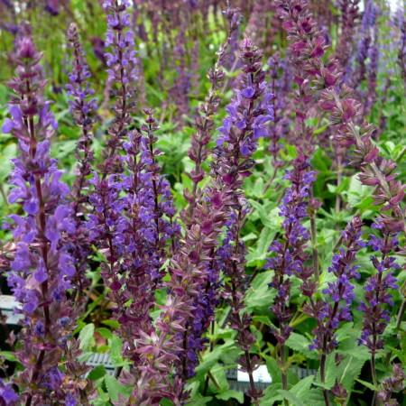 Salvia nemorosa 'Caradonna' (grote pot) - salie