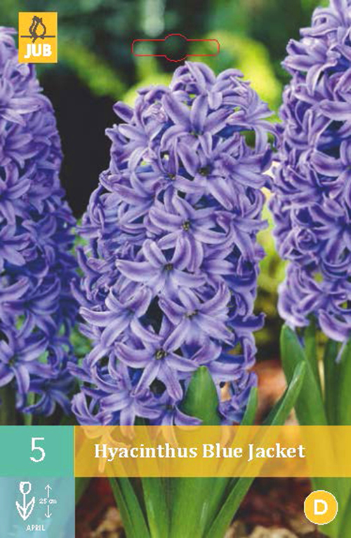 Hyacinthus 'Blue Jacket' - hyacint