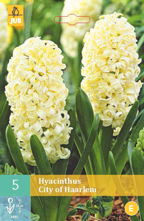 Hyacinthus 'City of Haarlem' - hyacint