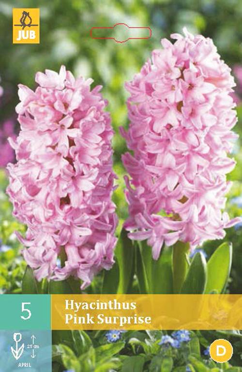 Hyacinthus 'Pink Surprise' - hyacint