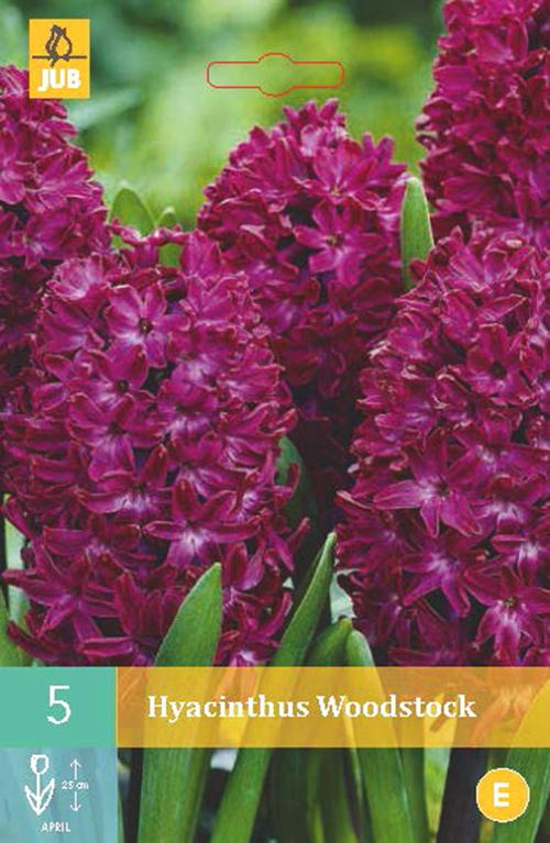 Hyacinthus 'Woodstock' - hyacint