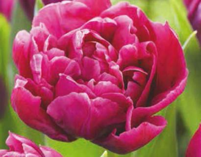 Tulipa 'Margarita' - tulp
