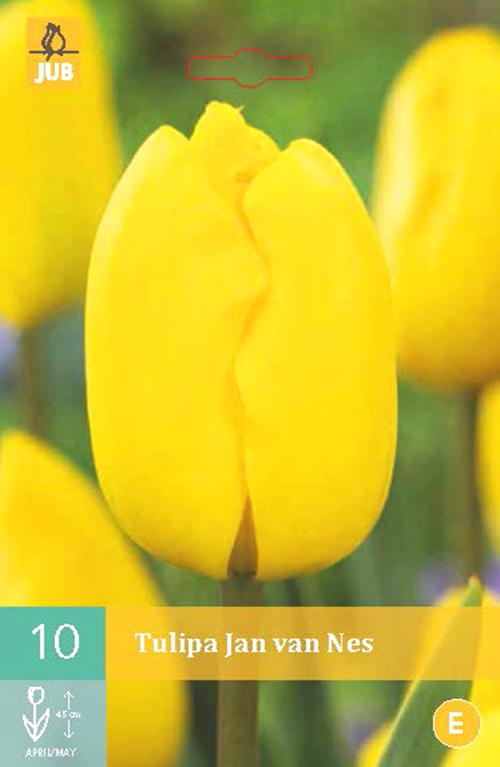 Tulipa 'Jan van Nes' - tulp
