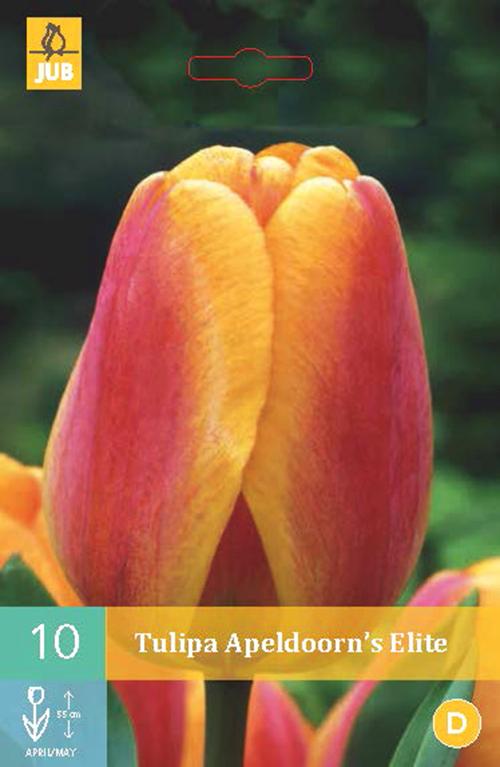 Tulipa 'Apeldoorn's Elite' - tulp