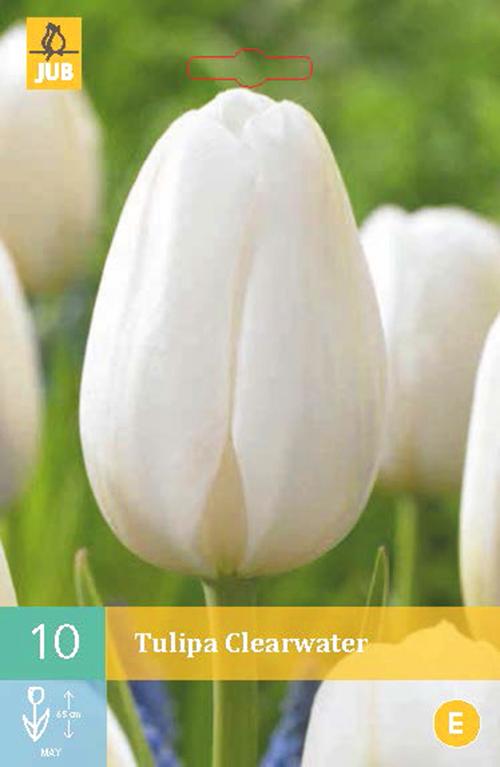 Tulipa 'Clearwater' - tulp