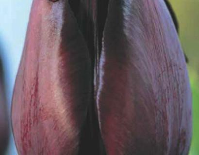 Tulipa 'Queen of Night' - tulp