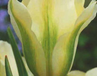 Tulipa 'Spring Green' - tulp