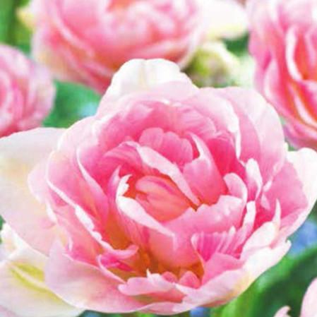 Tulipa 'Angélique' - tulp
