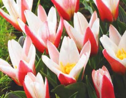Tulipa 'Heart's Delight' - tulp