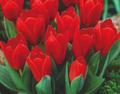 Tulipa 'Showwinner' - tulp