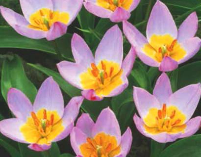 Tulipa 'Bakeri Lilac Wonder' - tulp