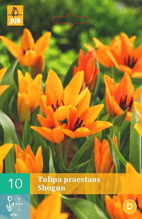 Tulipa 'Praestans Shogun' - tulp
