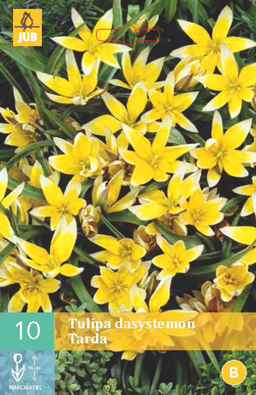 Tulipa dasystemon 'Tarda' - tulp