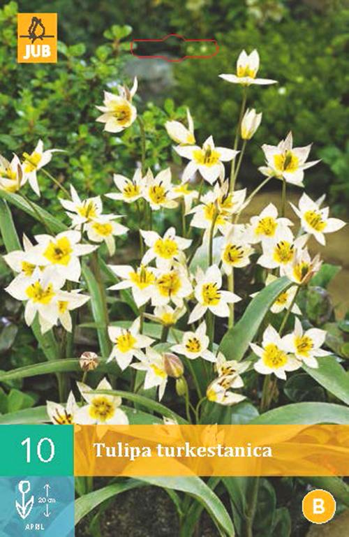 Tulipa 'Turkestanica' - tulp