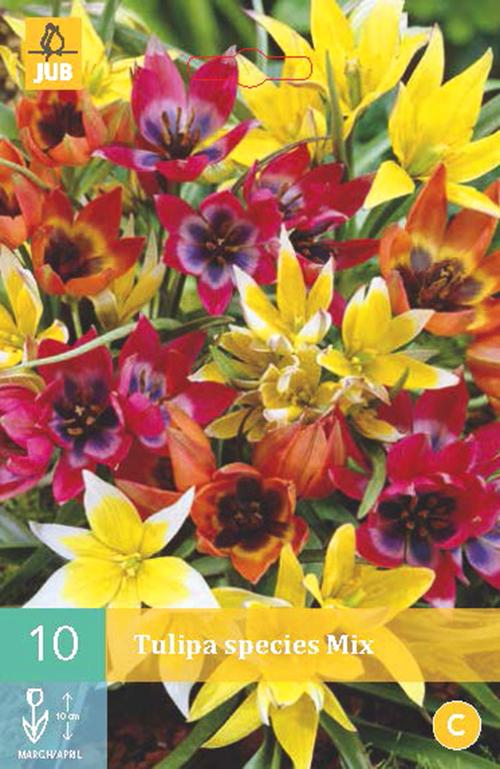 Tulipa species mix - tulp