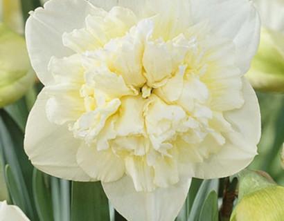 Narcissus 'Ice King' - paasbloem