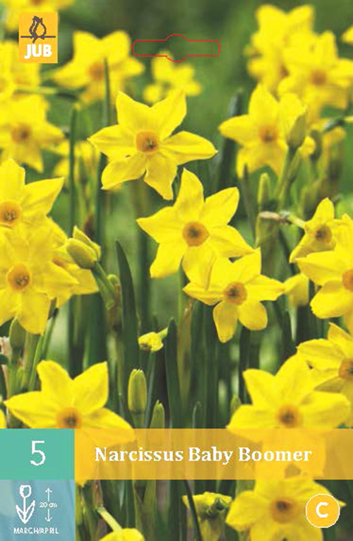 Narcissus 'Baby Boomer' - paasbloem